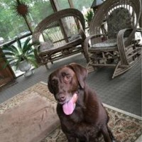 Lost Dog - Chocolate Lab - Little Rock